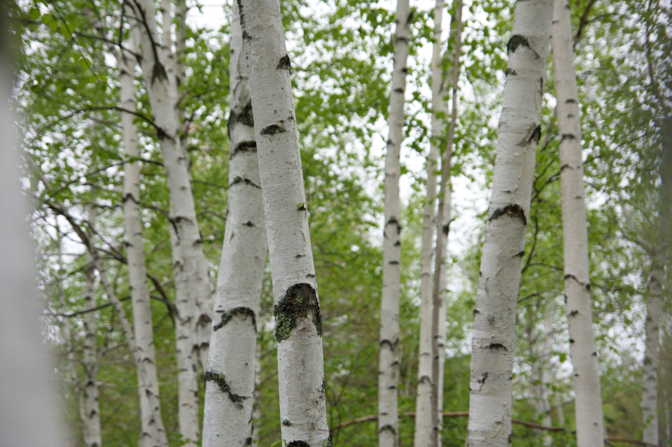 birch tree forest nature woods hiking outdoors bark leaves foliage
