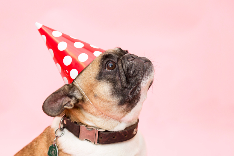 dog pug party had animal pink polka dot