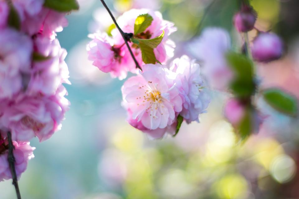 pink blossoms bloom flower tree branch nature plant outdoor farm field garden blur bokeh