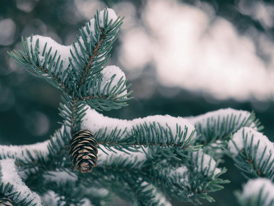 spruce snow winter leaves bokeh blur plant nature tree cold