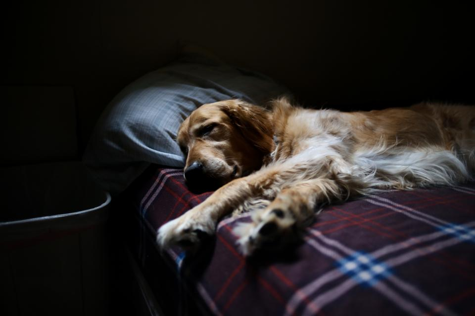 dog golden retriever animal bed sleeping tired