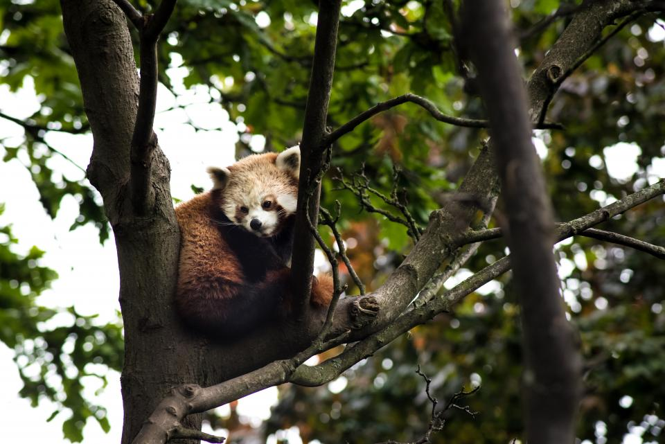 animals red panda tree branch leaves green sky outdoor wild wilderness forest
