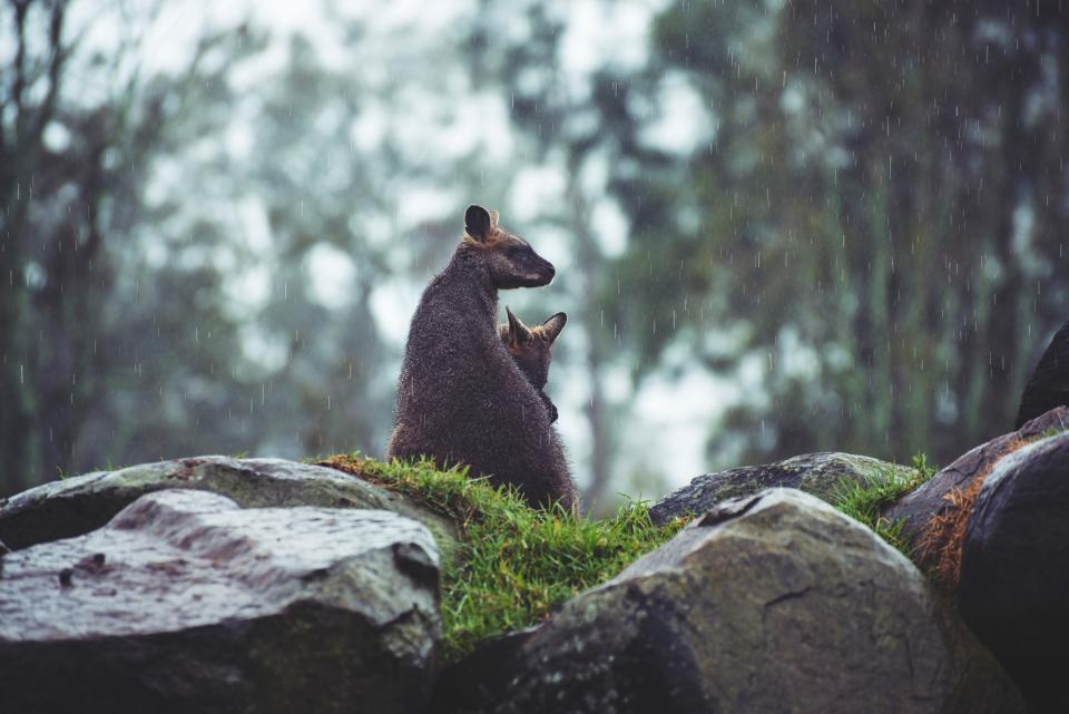 rock stone kangaroo animal green grass nature raining bokeh blur