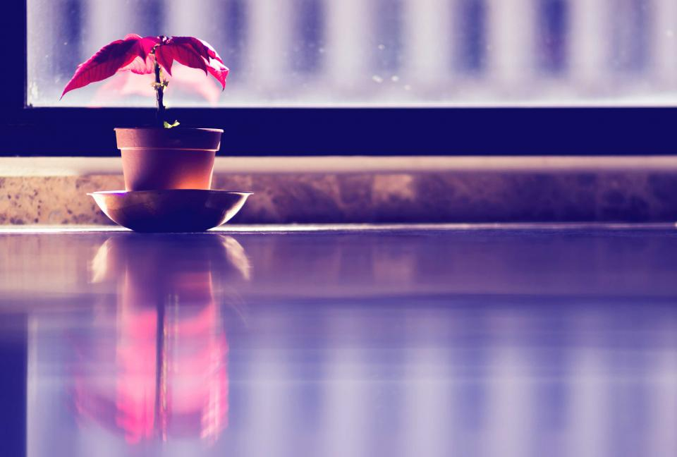 flower plant nature red leaves pot display window glass reflection