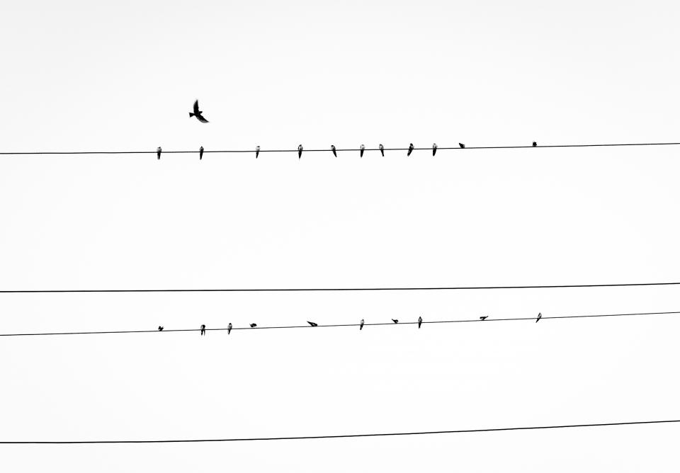 birds power lines animals sky