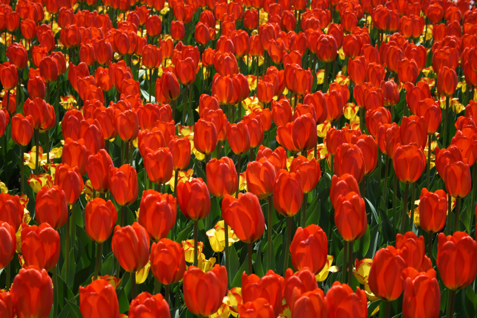 tulips background flower red petals nature garden spring bloom blossom flora field plants wallpaper