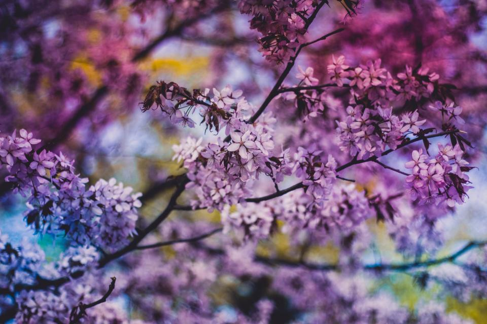 purple blossoms flowers trees leaves branches nature spring