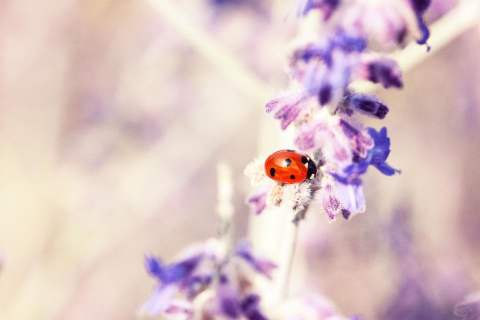 lavender flower petal bloom blossom beetle bug insect outdoor blur