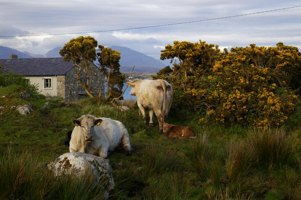cattle Ireland rural country animals