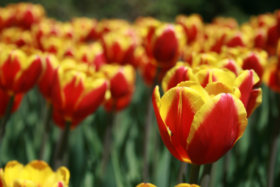 tulip flower macro petals nature garden easter spring bloom blossom flora field plants colorful red yellow close up wallpaper