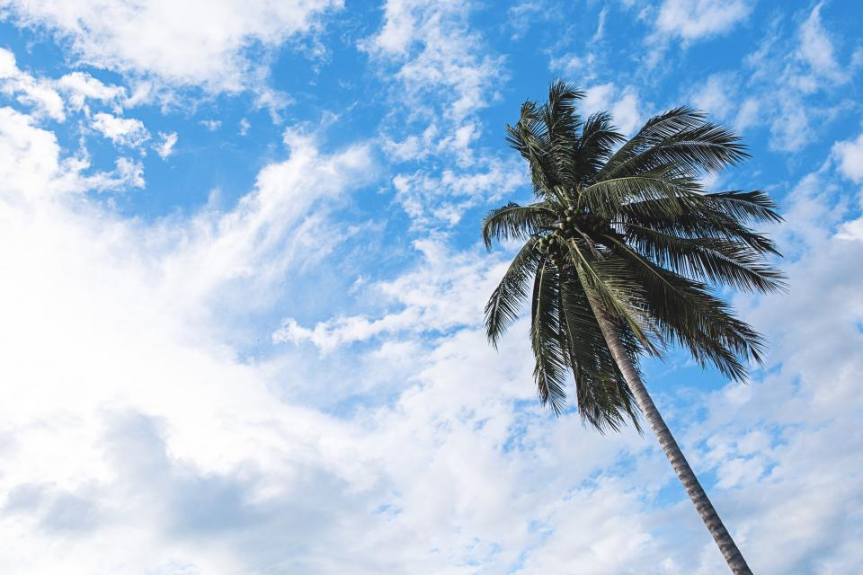 nature trees branches leaves coconut sky clouds sway