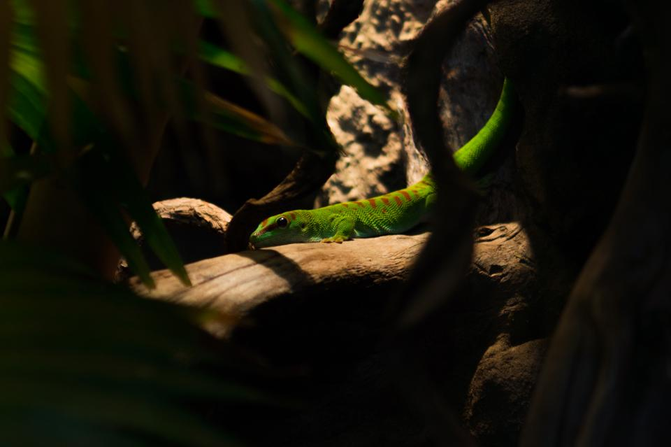 green lizard animal