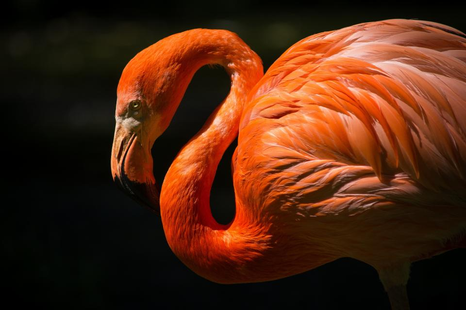 bird animal orange wings neck beak flamingo pink beautiful gorgeous feathers