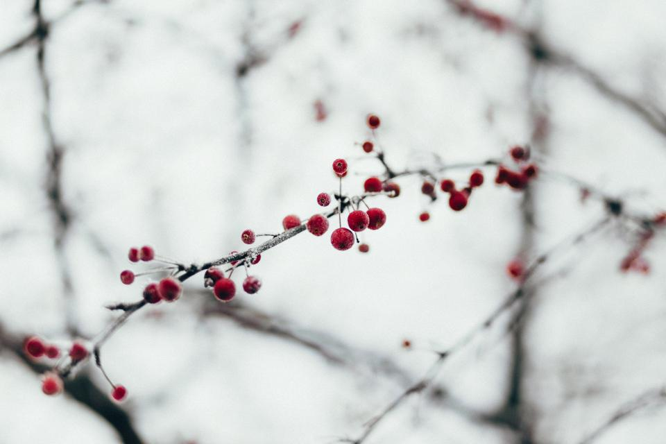 snow winter cold tree plant nature branch red fruit