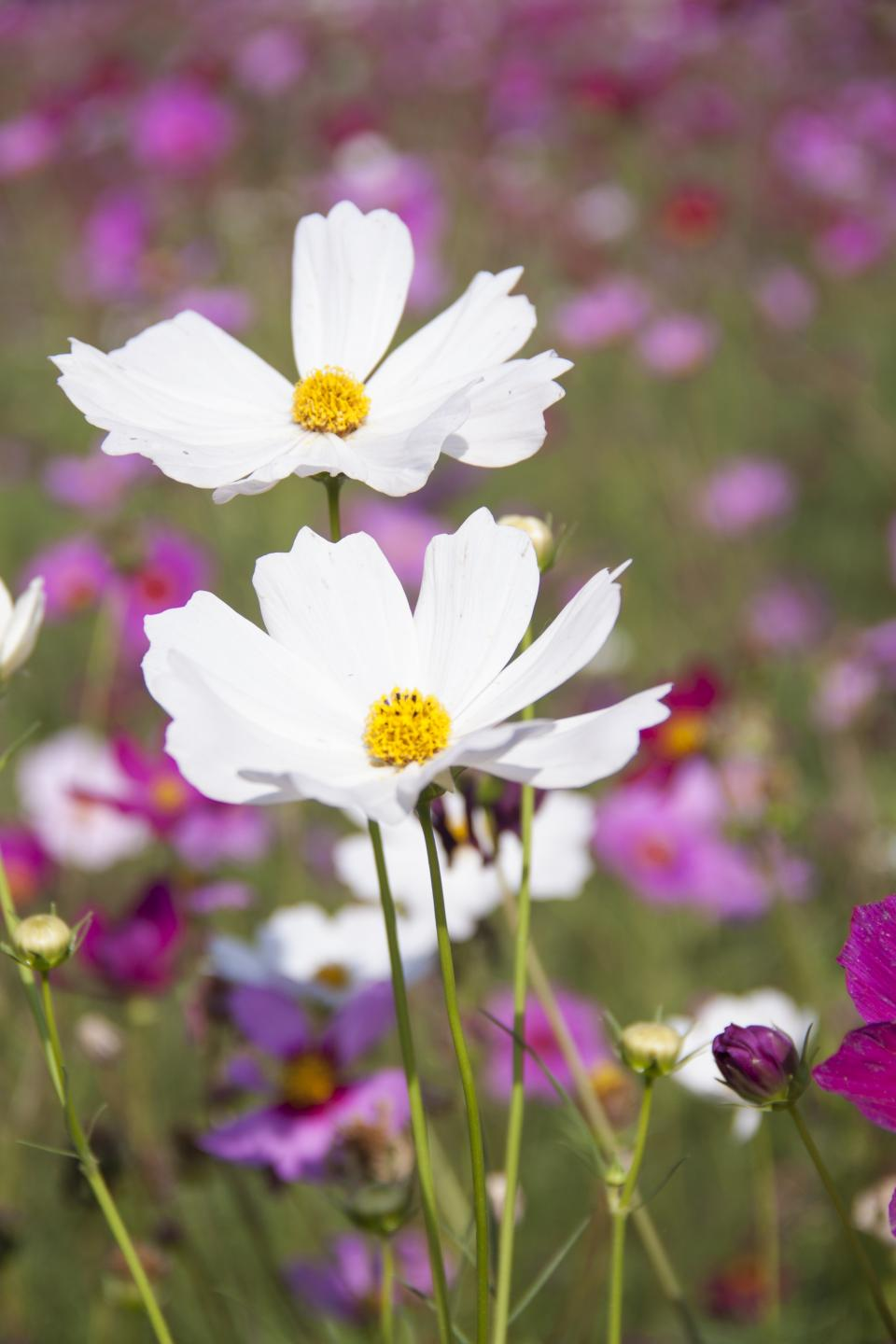 flowers nature blossoms field bed white purple stems stalks petals leaves grass still bokeh outdoors