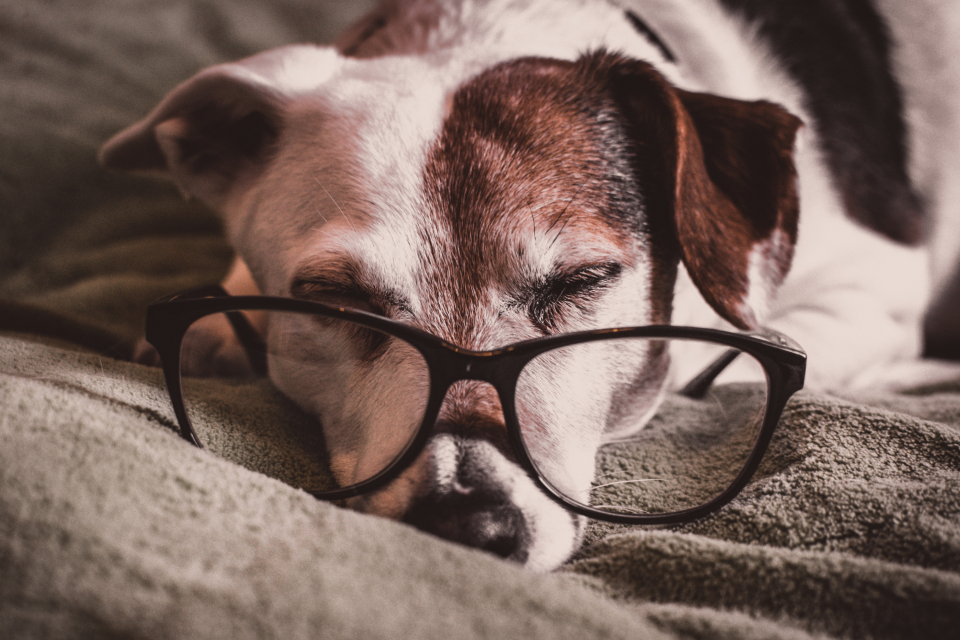 dog sleeping glasses reading intelligent smart animal pet tired jack russell