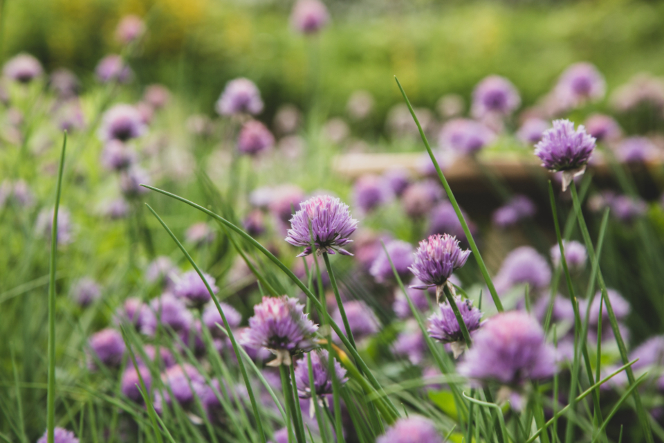 chives blossom garden nature wild purple bloom plants botanical ingrediant close up growth field