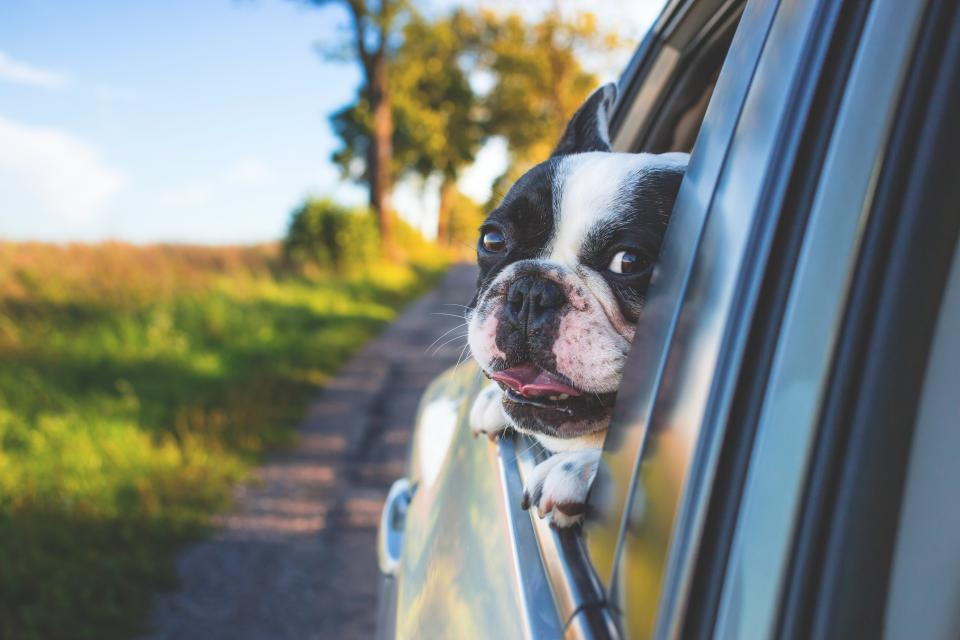 animals dogs domesticated pets eyes muzzle adorable pet peek peep car window tongue out road trip travel still bokeh