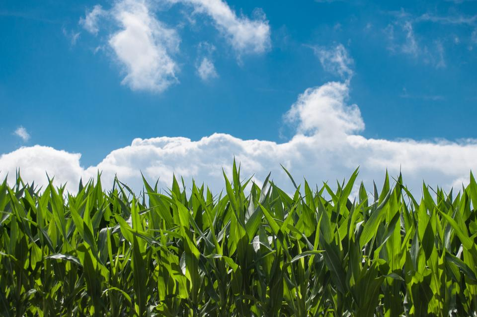 corn fields farming country rural green sky clouds