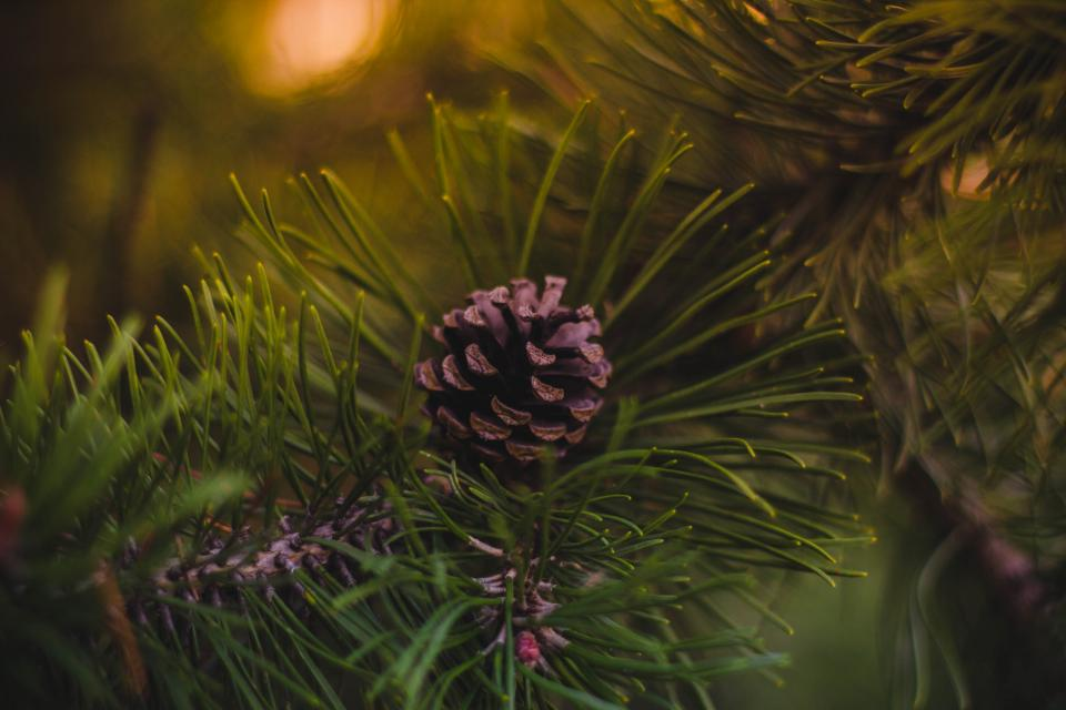pine cone green tree plant blur nature outdoor