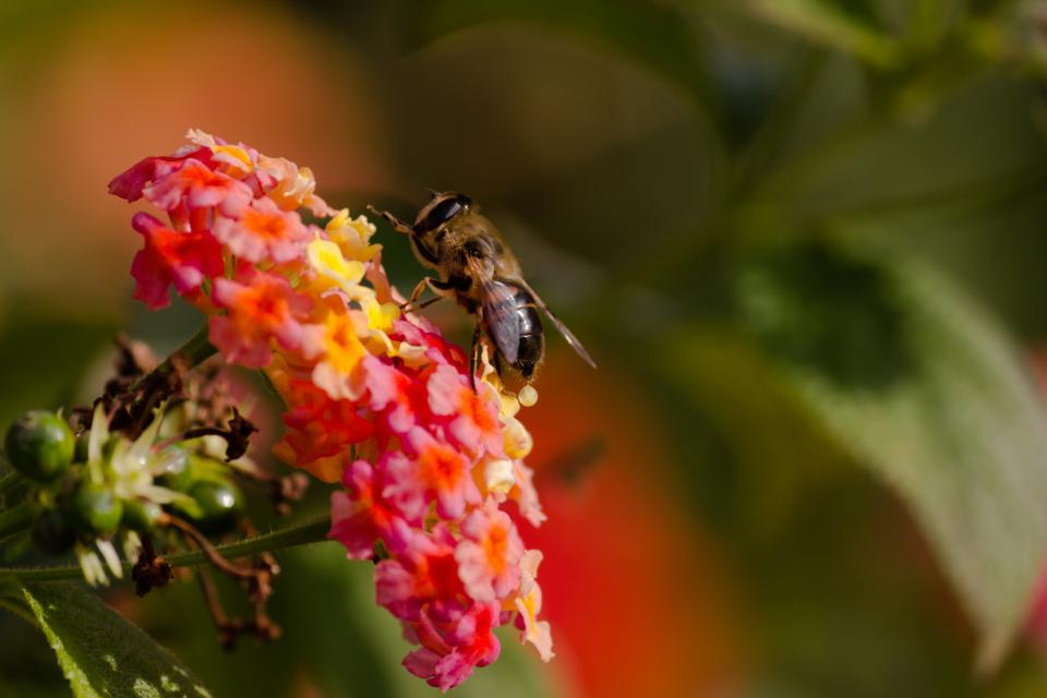 bee insect animal blur pink flower plant