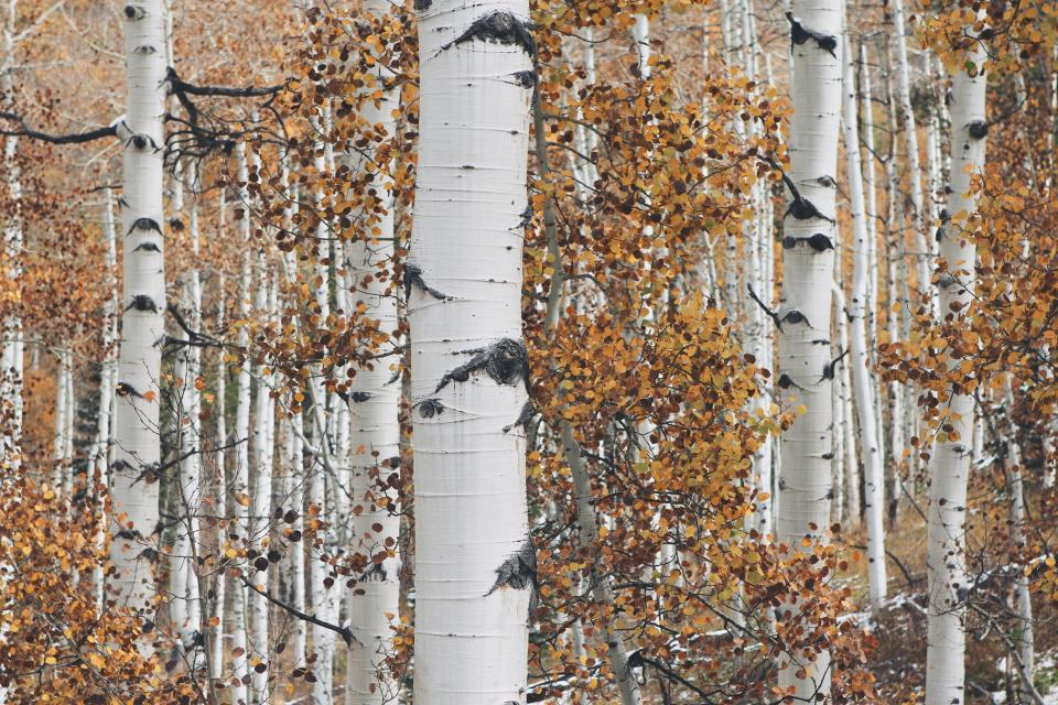 white trees trunks leaves forest woods nature autumn fall