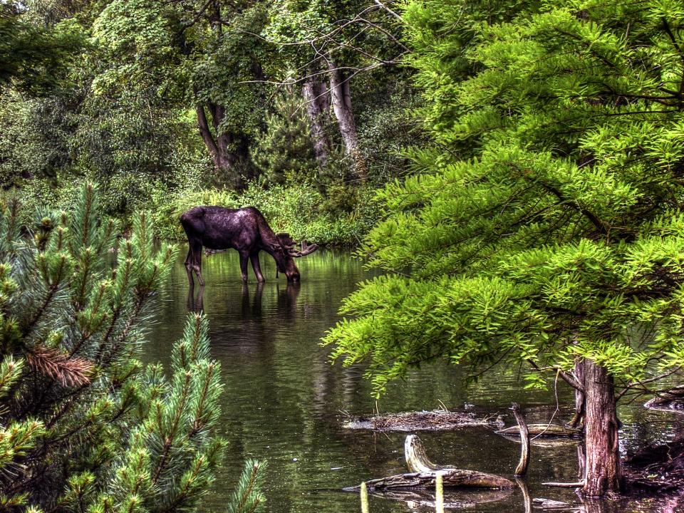 moose animal river water nature trees forest woods