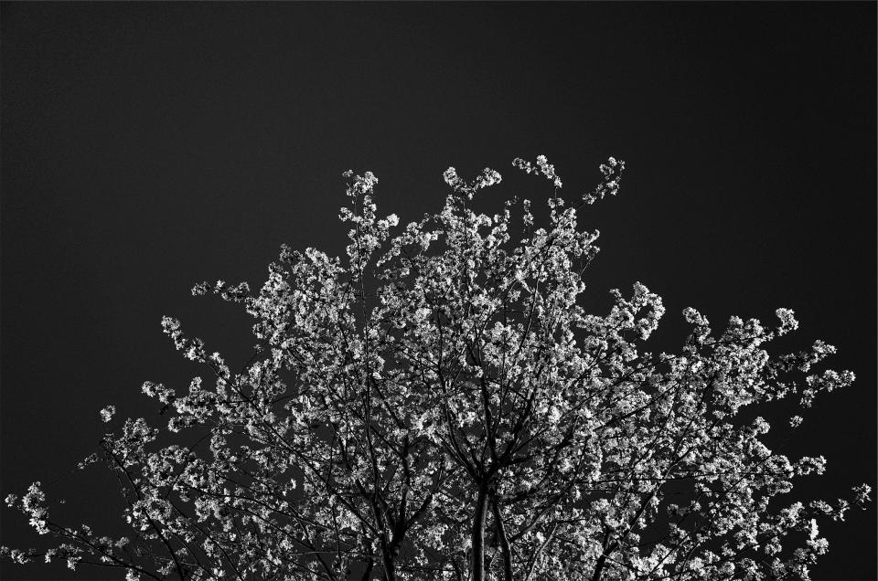 tree blossoms black and white