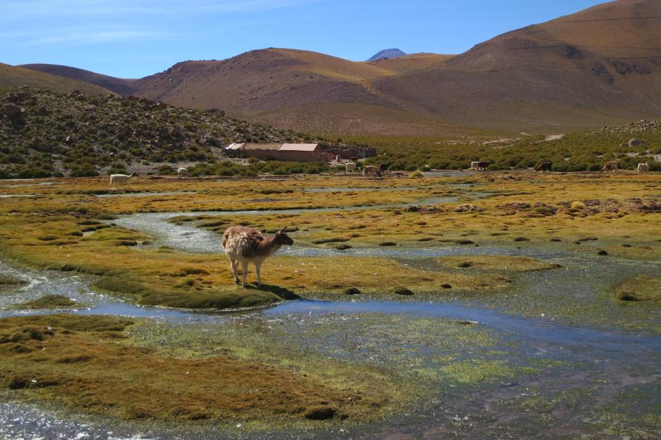 Geyser el Tatio Chile animals country rural grass fields water mountains hills nature