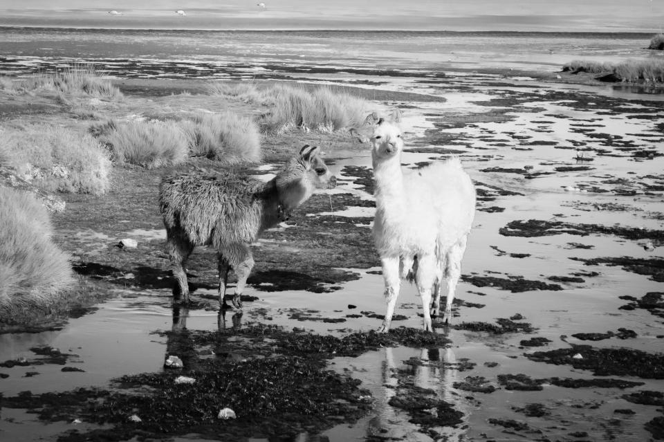 llamas alpacas animal black and white