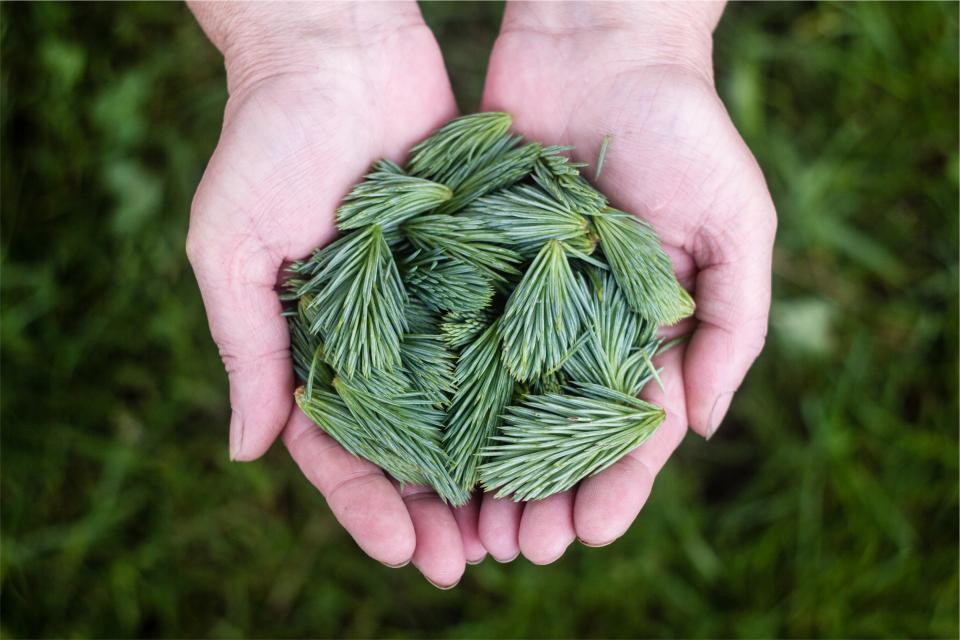 green pine leaves hands