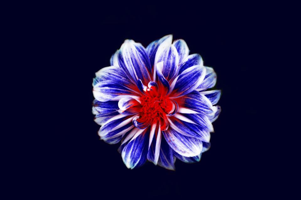 flowers nature blossoms odd weird beautiful striations petals art blue red