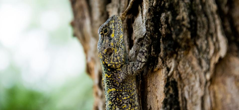 animals reptiles lizard gecko scales tree bark tree wood bokeh