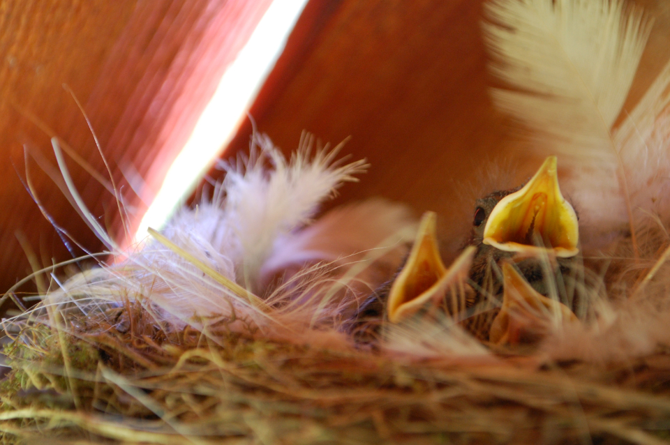 birds chicks feathers animals