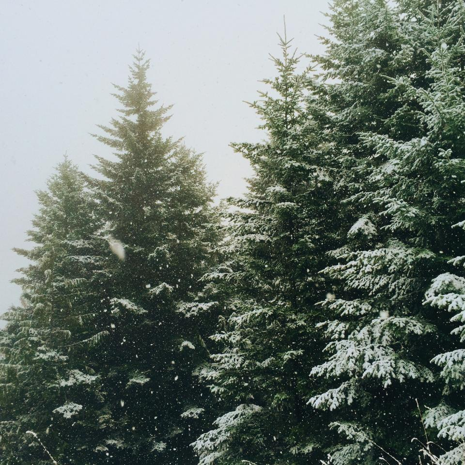 nature forests trees pine snow winter still