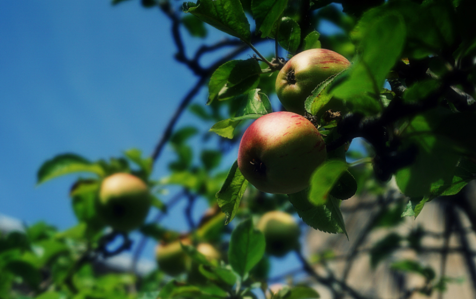 apples fruit trees fruit tree apple tree garden nature sky blue leaves plants food