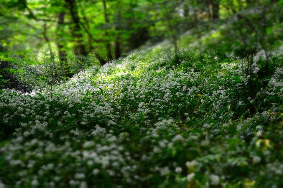 flowers nature blossoms field bed white leaves plants bushes forests trees outdoors bokeh