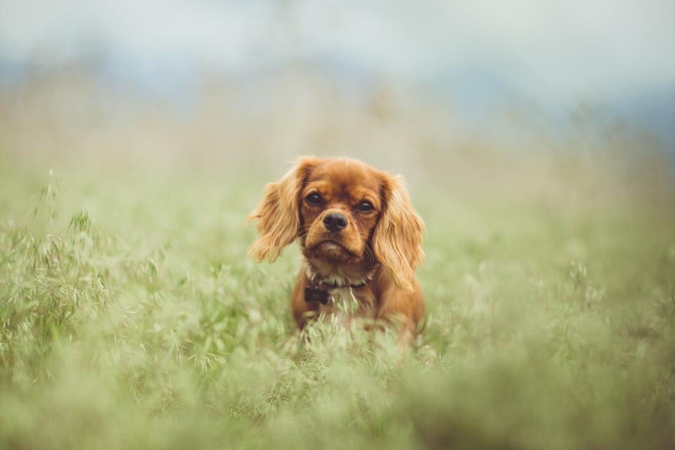 animals dogs domesticated pets eyes muzzle adorable curious miniature sit grass outdoors still bokeh