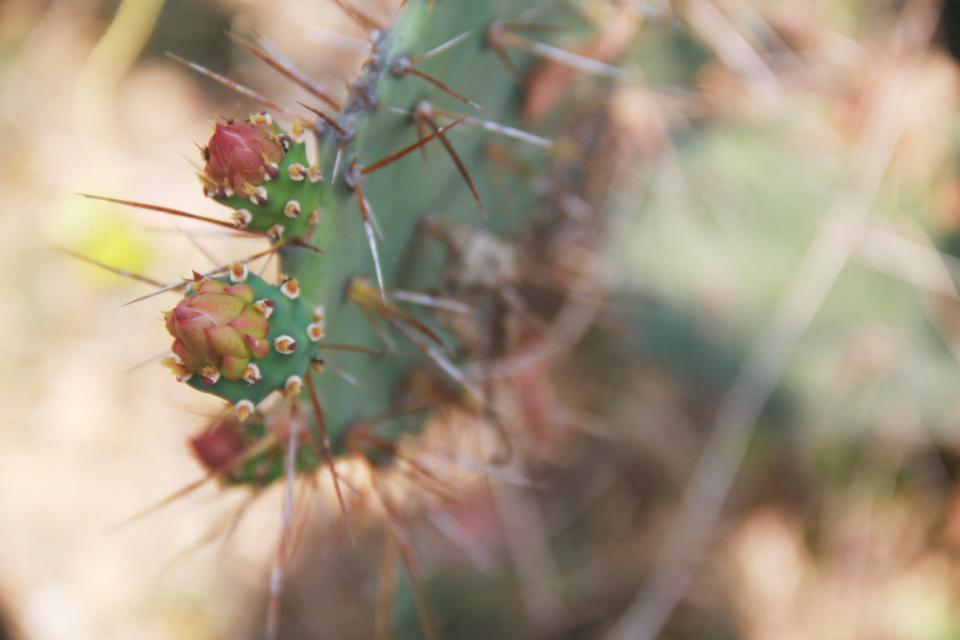 nature plants cactus thorns macro still bokeh