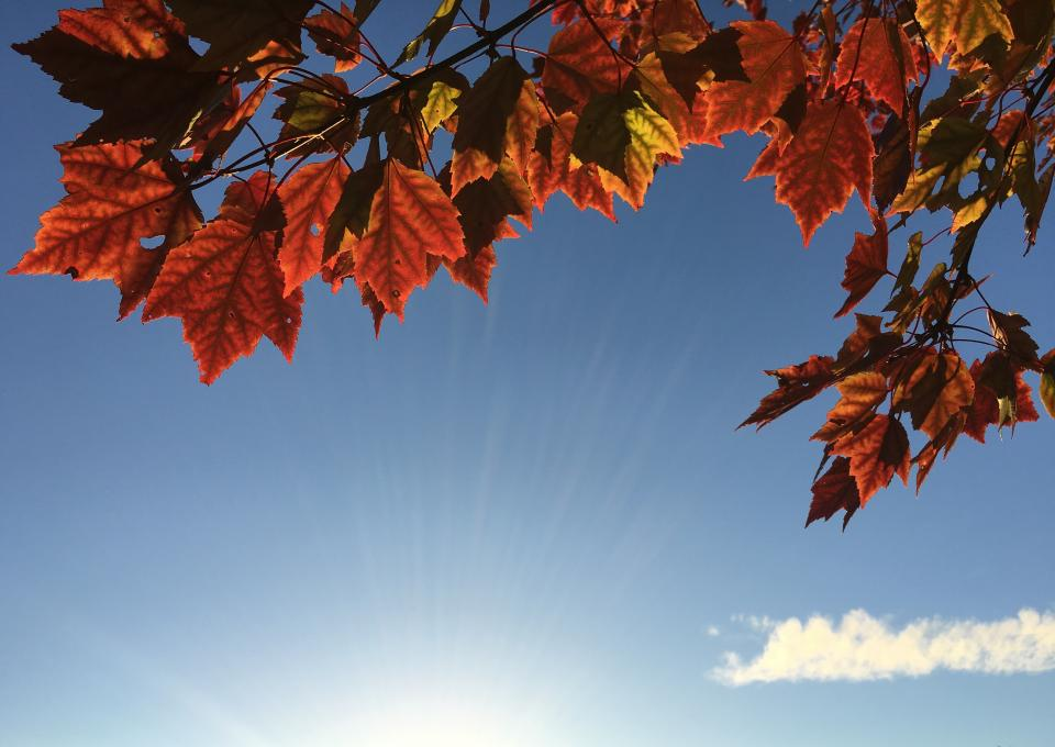 maple leaf leaves trees nature autumn fall sunshine blue sky