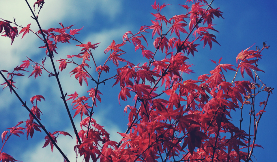 maple tree nature trees branches blue sky plants red garden bloom blossom botany