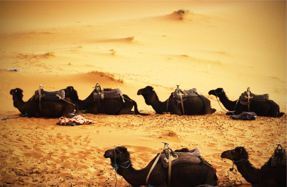 camels desert sand animals