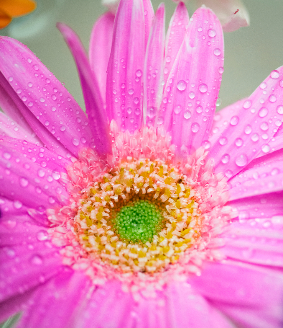 african daisy attractive background beautiful beauty bloom blossom botanical botany closeup collection daisy decoration drop droplet elegance floating flora floral flower flowery fresh garden gerbera gerbera daisy isolated