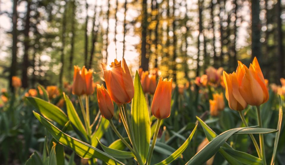 orange tulips flowers garden nature trees forest sunset