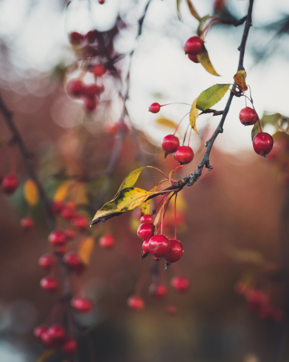 red berries tree branches autumn branch seasonal fall colorful nature outdoor natural decoration bokeh background leaves plant