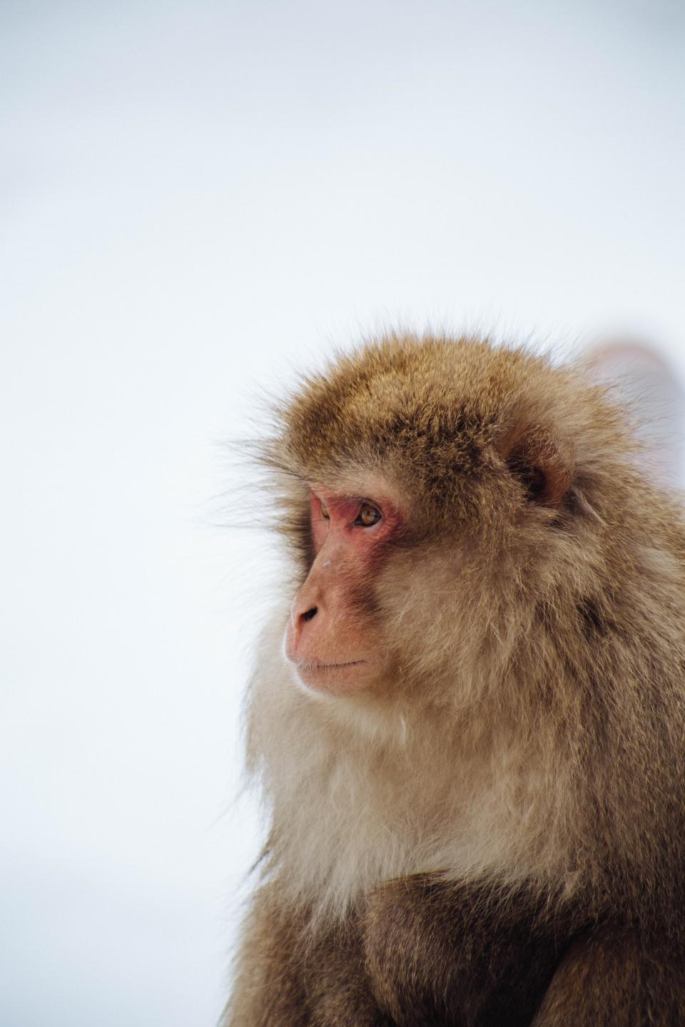 animal monkey fur wildlife bokeh blur