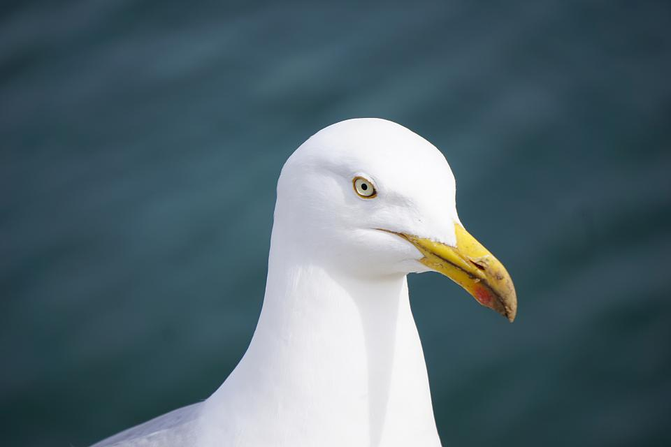 animal bird seagull white eye head feather beak bill rostrum blur