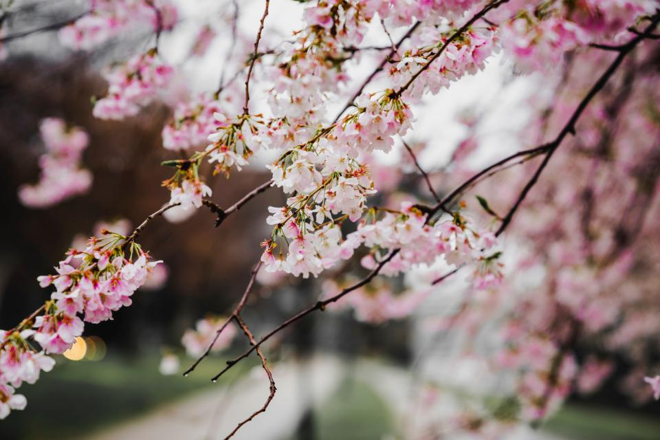pink flower blossoms bloom petals tree plants nature blur