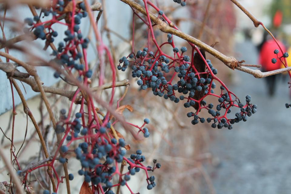 plants nature autumn vine blueberries branches
