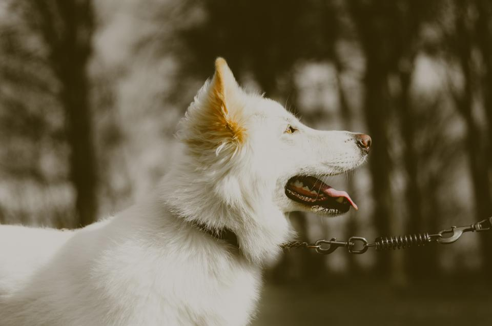 white dog dogs german shepherd